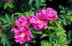 Elixir de rose 100% sauvage fait main