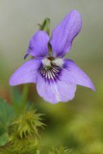 Elixir de violette